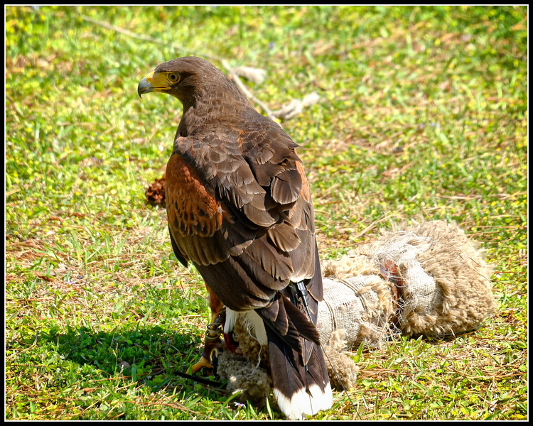 "Harris Hawk and the ""bait"" - AC"