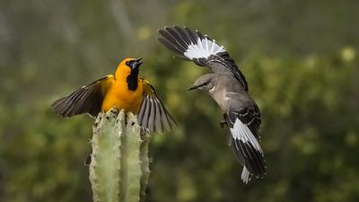 Hooded Oriole vs Mockingbird