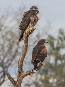 Extreme Rarity - Two hawk species, same perch