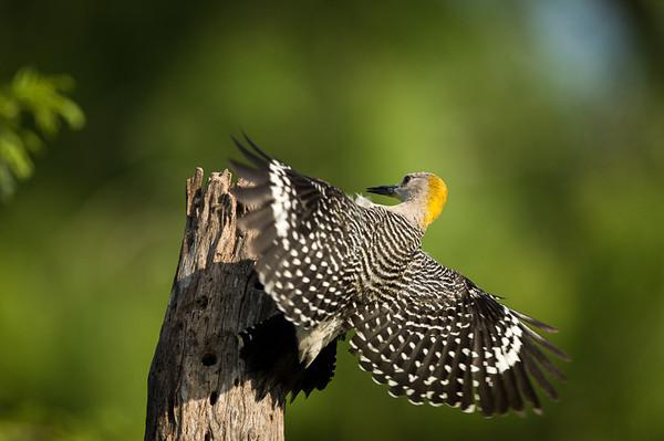 Birds of South Texas