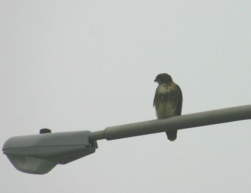 Red-tailed Hawk - Mic Mac Interchange,Dartmouth 12/06/05