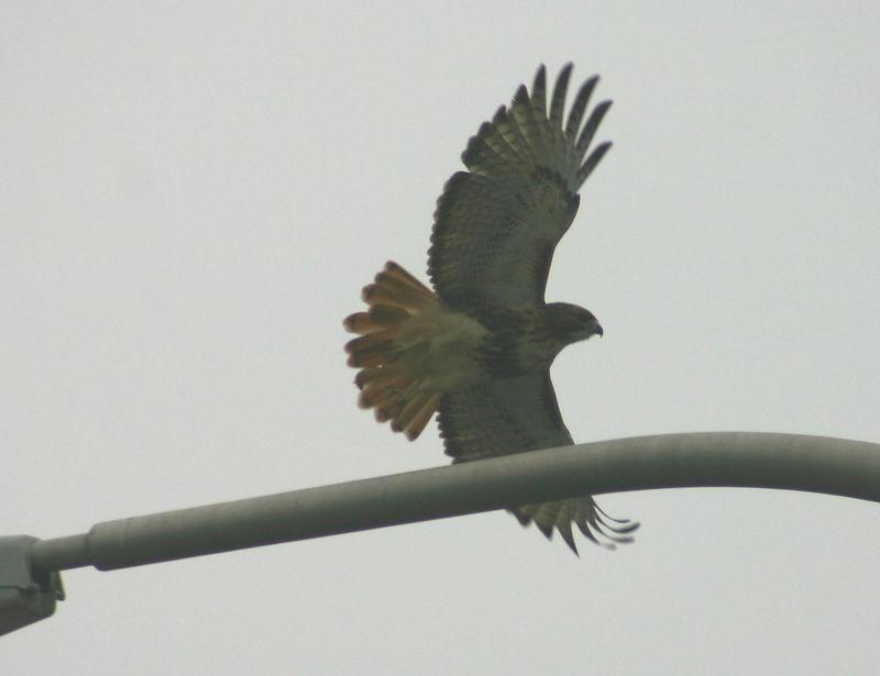 Red-tailed Hawk - Mic Mac Interchange,Dartmouth. 12/06/05