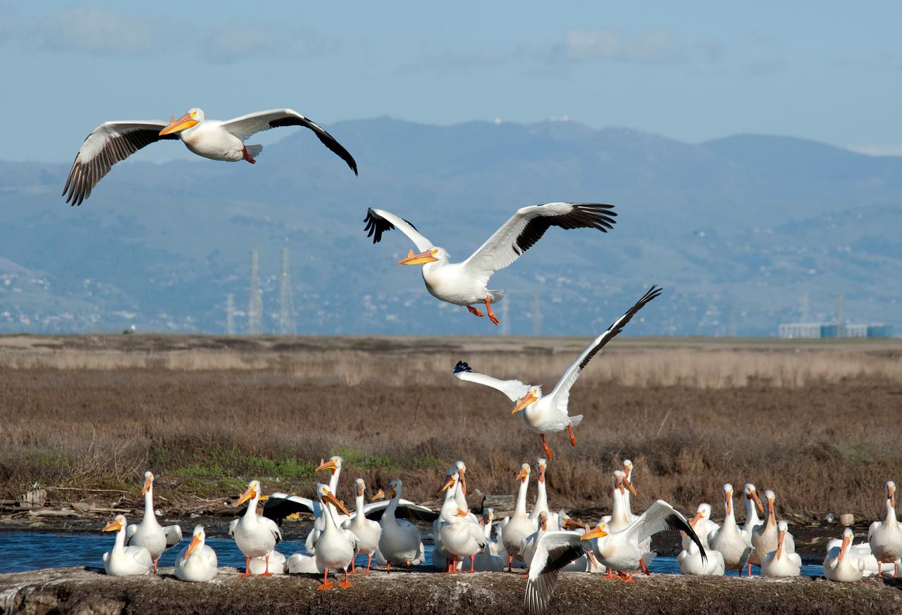 Pelican Liftoff, Palo Alto Baylands