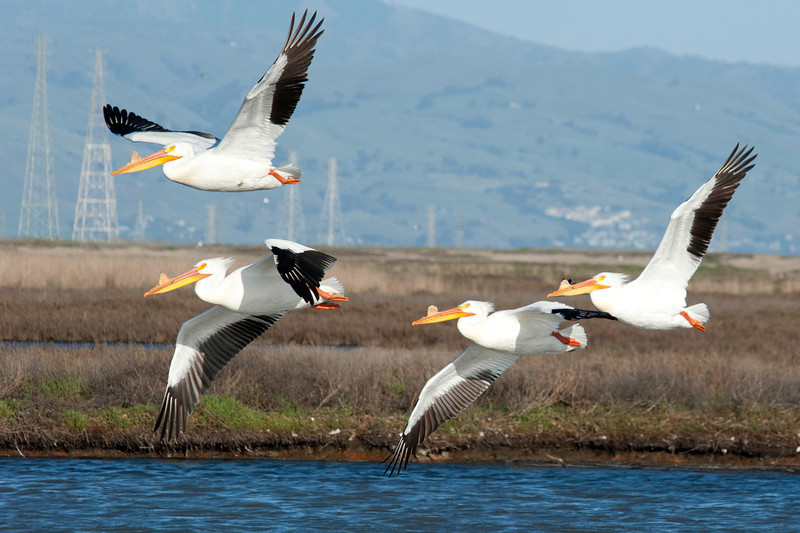 Pelicans in Flight, Palo Alto Baylands