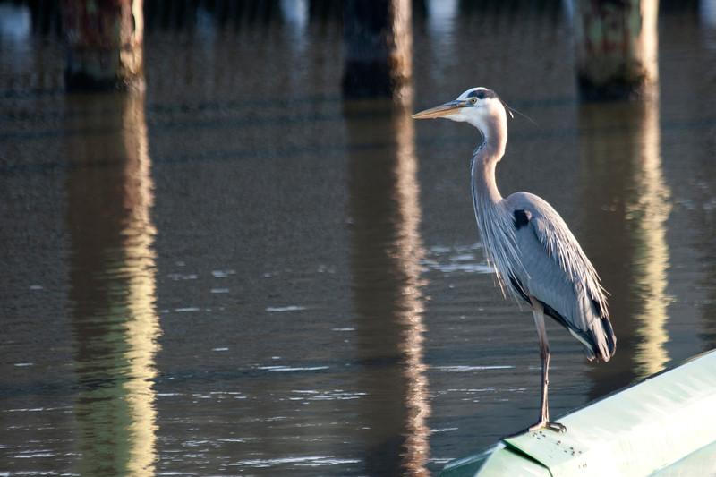 Great Blue Heron, Palo Alto Baylands