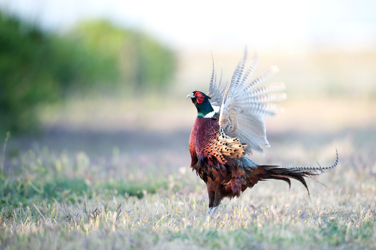 Fussy Pheasant