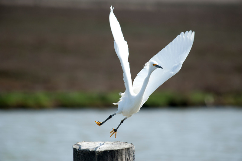Snowy Egret Jumps For Joy!
