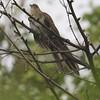 Strriped Cuckoo