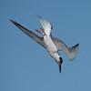 Diving Tern #4 2/15.