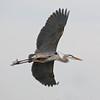 Great Blue Heron Over Viera Wetlands #5 1/14.
