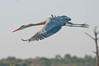 Great Blue Heron Taking Off at Viera Wetlands #1 2/14.