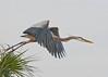 Great Blue Heron Over Viera Wetlands #1 1/14.