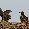 Title: Eaglets (Bald Eagle) | Scientific Name: Haliaeetus leucocephalus | Habitat: Wooded Area | Location: Palm Bay, Florida