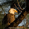 Title: Morning Sun (Bald Eagle) | Scientific Name: Haliaeetus leucocephalus | Habitat: Wooded Area | Location: Palm Bay, Florida