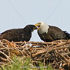 Title: Bald Eagle | Scientific Name: Haliaeetus leucocephalus | Habitat: Wooded Area | Location: Palm Bay, Florida