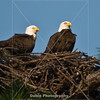 Title: Proud Parents (Bald Eagle) | Scientific Name: Haliaeetus leucocephalus | Habitat: Wooded Area | Location: Palm Bay, Florida
