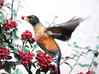Birds berries_0810 NEF_1736