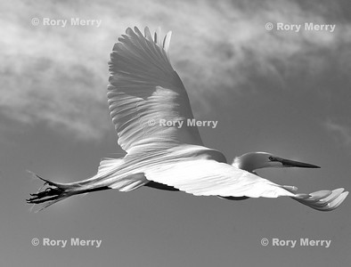 White heron in flight