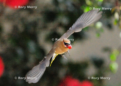 Bird in Flight_9839a