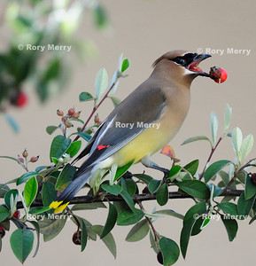Brids in Berry Tree