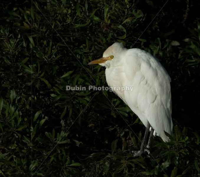 Title - Cattle Egret | Scientific Name: Bubulcus ibis | Habitat: Wetlands | Location: Loxahatchee National Wildlife Refuge in Boynton Beach, Florida