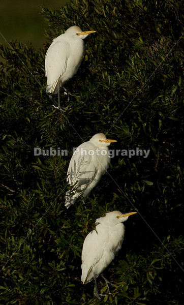 Title - Heads Right (Cattle Egret) | Scientific Name: Bubulcus ibis | Habitat: Wetlands | Location: Loxahatchee National Wildlife Refuge in Boynton Beach, Florida