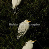 Title - Heads Right (Cattle Egret)   Scientific Name: Bubulcus ibis   Habitat: Wetlands   Location: Loxahatchee National Wildlife Refuge in Boynton Beach, Florida