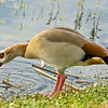 Title - Egyptian Goose | Scientific Name: Alopochen aegyptiaca | Habitat: Wetlands | Location: Viera Wetlands, Florida | These goose aren't native to North America.  They are primarily found in Southern Africa and Southern Europe.