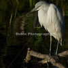 Title - Immature Little Blue Heron | Scientific Name: Egretta caerulea | Habitat: Wetlands | Location: Loxahatchee National Wildlife Refuge in Boynton Beach, Florida