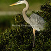 Title - Great Blue Heron | Scientific Name: Ardea herodias | Habitat: Wetlands | Location: Loxahatchee National Wildlife Refuge in Boynton Beach, Florida