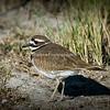 Title - Killdeer | Scientific Name: Charadrius vociferus | Habitat: Wetlands | Location: Loxahatchee National Wildlife Refuge in Boynton Beach, Florida