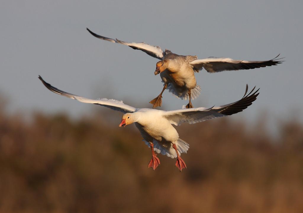 IMAGE: http://www.mikeswildlife.com/Other/Birds/MG6825/1114494254_VaZqx-XL.jpg