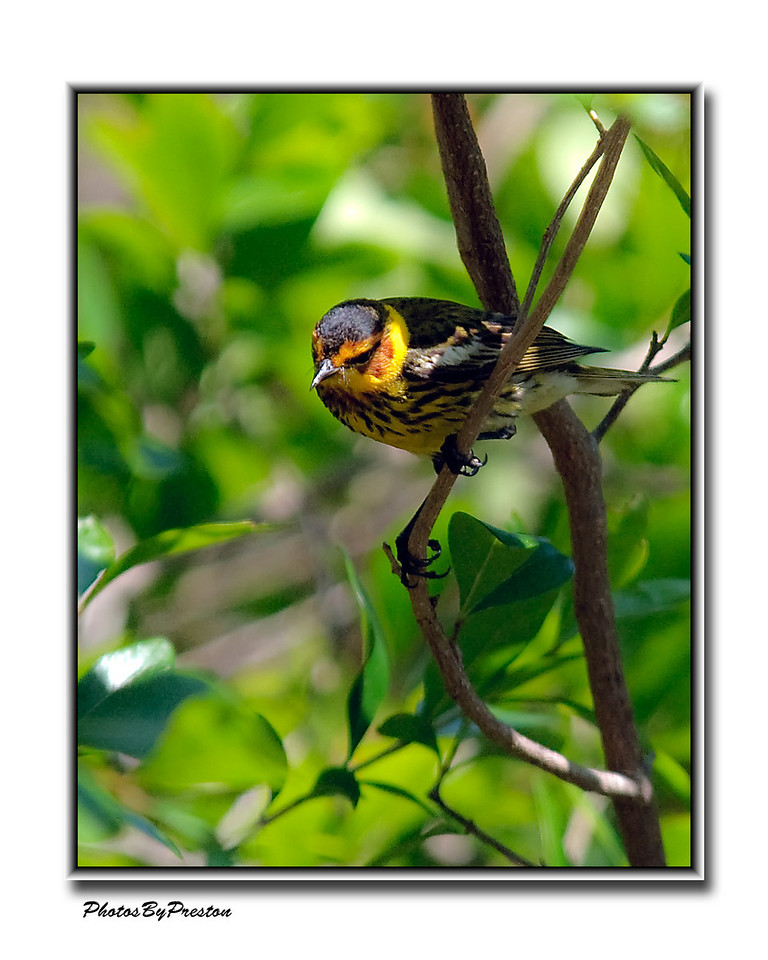 Angry Cape May Warbler