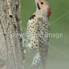 woodpecker closeup2