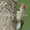 woodpecker closeup