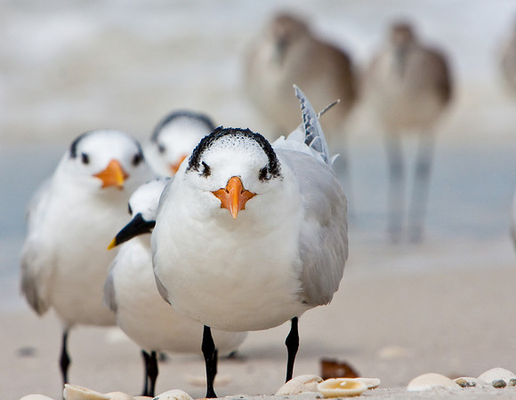 Little Old Men (Royal Terns)