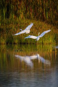 Great Egrets Leaving