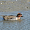 Swiming Green-Winged Teal <br /> Palo Alto Bay Lands