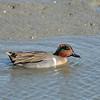 Swiming Green-Winged Teal <br /> Palo Alto Bay Lands
