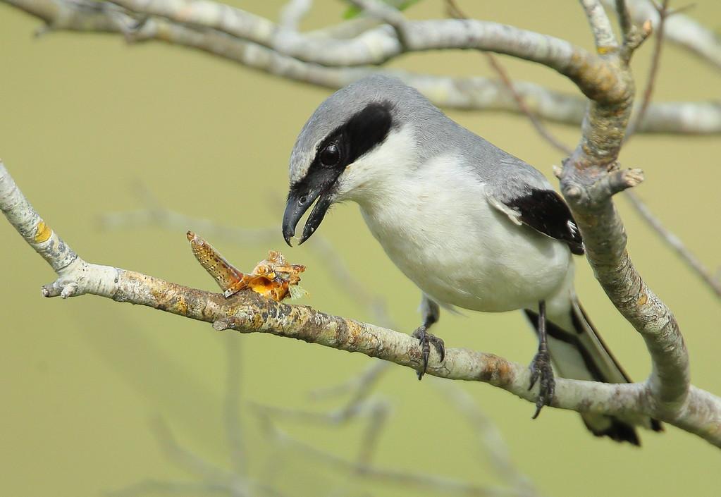 IMAGE: https://photos.smugmug.com/Other/Birds/i-3987fLb/0/4bb549ad/XL/BB8I4504-XL.jpg