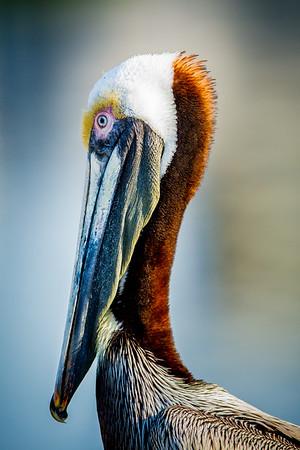 Posing Brown Pelican