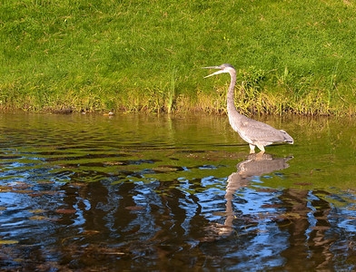 Blue Heron In Water