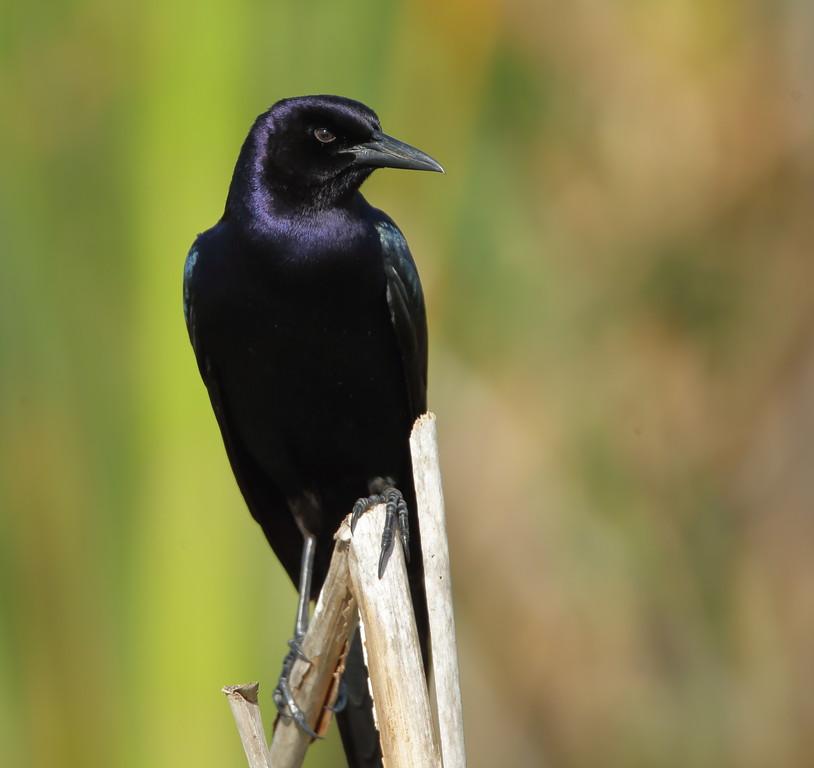IMAGE: https://photos.smugmug.com/Other/Birds/i-4T2Mgbg/0/e7a8b35a/XL/BB8I0402-XL.jpg