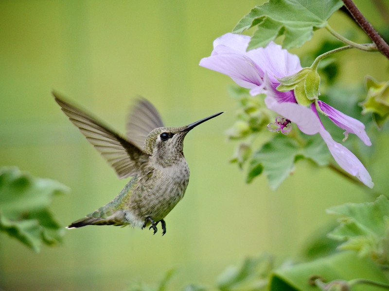 Hummer's Approach, Anne's hummingbird