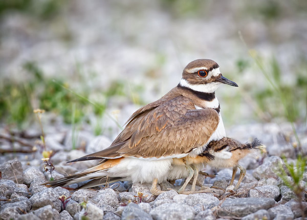 Killdeer with young