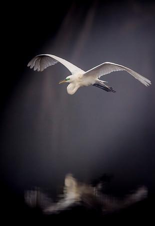 Great Egret in the fog Vert.