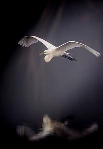 Venice Rookery Great Egret Through Fog 2016