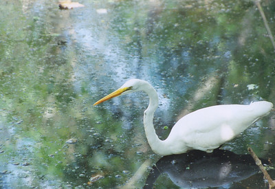 Great White Heron Corkscrew swamp,  Florida, USA