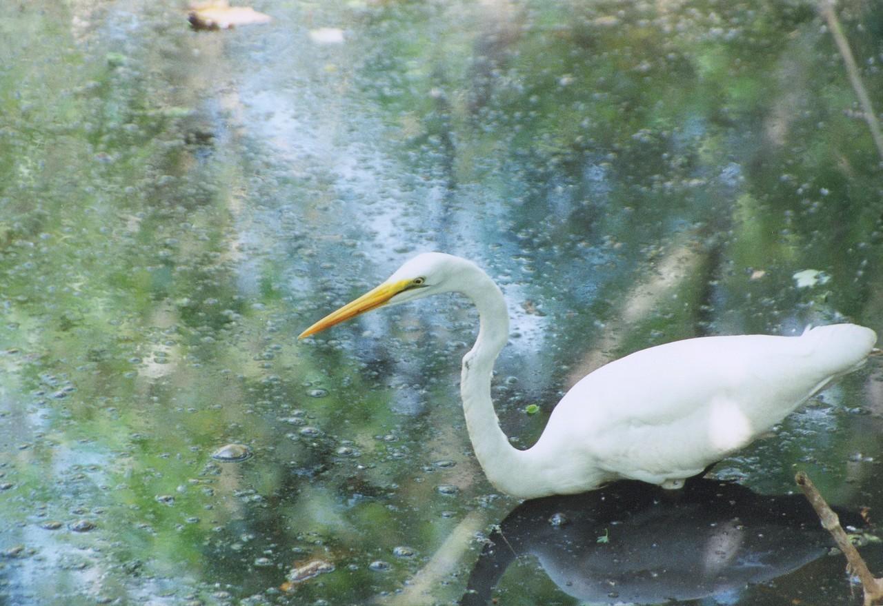 Great White Heron Corkscrew swamp,  Florida, USA