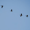Geese heading south.